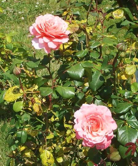 ローランカブロルはロゼット咲きです