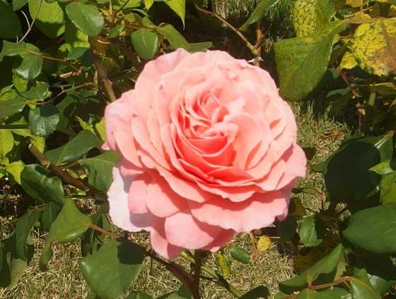ローランカブロルは杏色のバラ