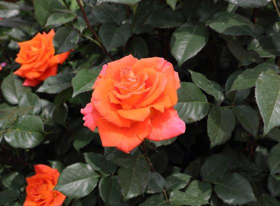 モニカはオレンジ色のバラ
