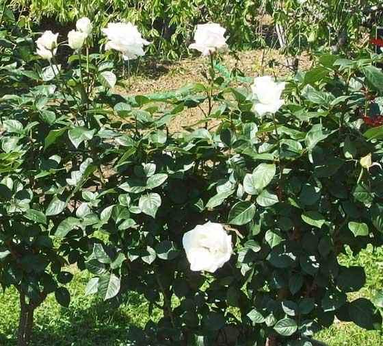 オスカルフランソワは四季咲き