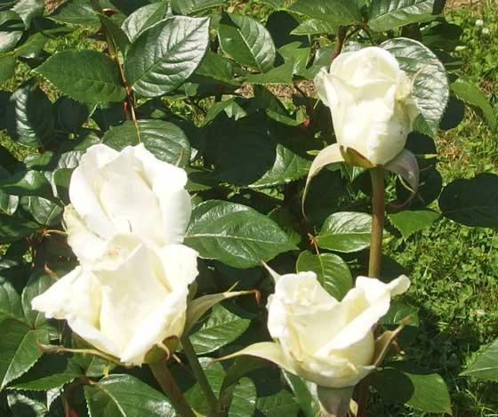 オスカルフランソワは白色のバラ