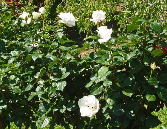 半剣弁高芯咲きのバラです