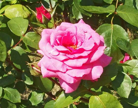 ローズピンク色の大輪咲き