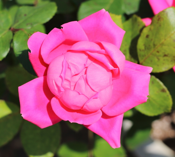 シュラブ系統のローズピンク色です