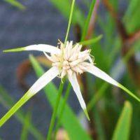 シラサギカヤツリは北アメリカ原産