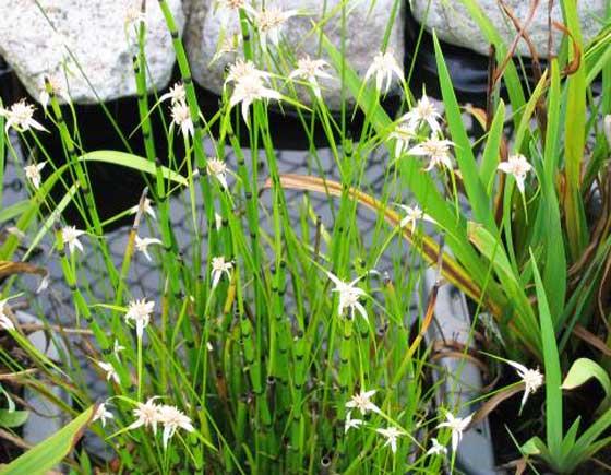 シラサギカヤツリは初夏~秋まで開花する