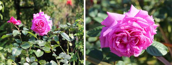 桃色から濃い紫色へ花色が変わります