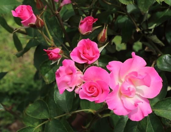 さらさは半八重咲きのバラ