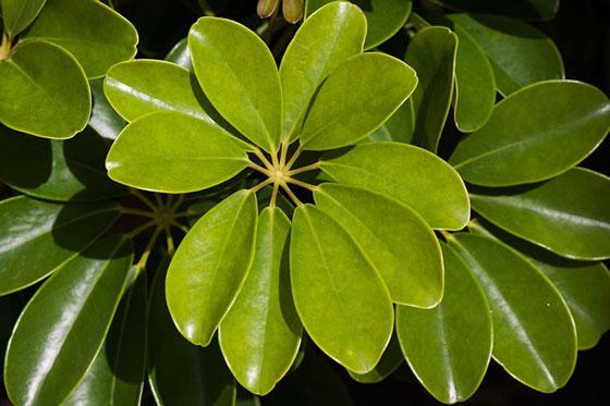 シェフレラは常緑低木