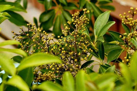 シェフレラは観葉植物です