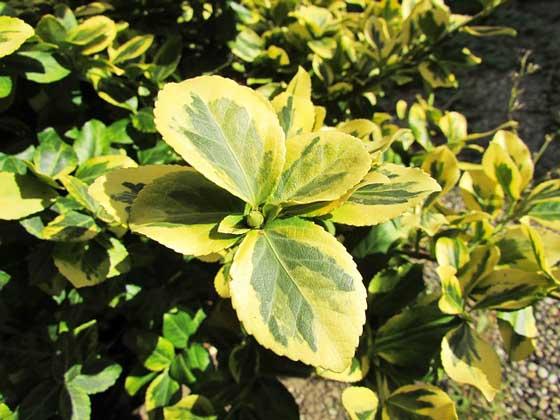 シェフレラは寒さに弱い植物
