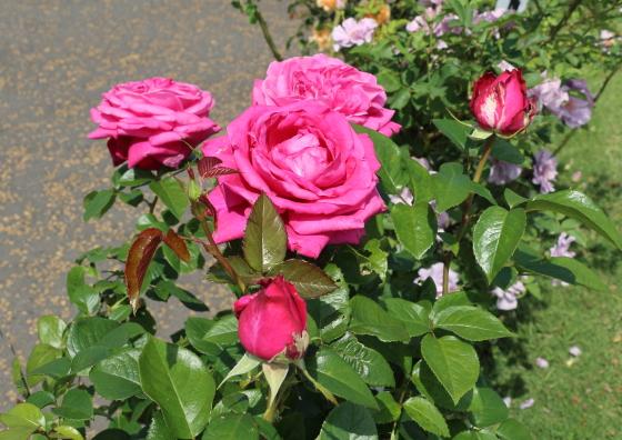 サントゥールロワイヤルは濃いピンク色のバラ