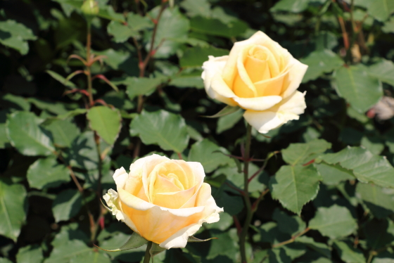 シンプリーへブンは淡い黄色のバラです