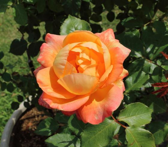 シュペールバルクはオレンジ色のハラです