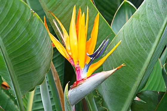 ストレリチアは熱帯植物