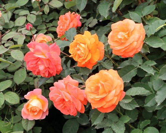 スータートローパーはフロリバンダ系統のバラ