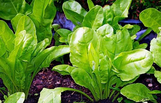 フダンソウは育てやすい植物