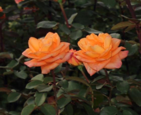 常夏はオレンジ色のバラ