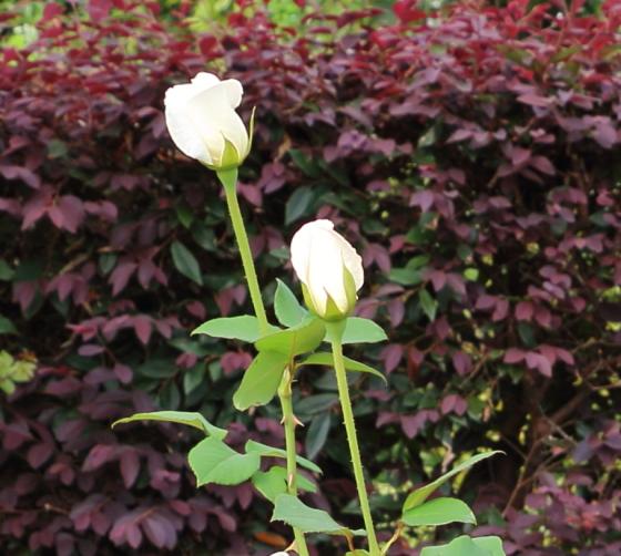 花菜ガーデンの秋のバラ