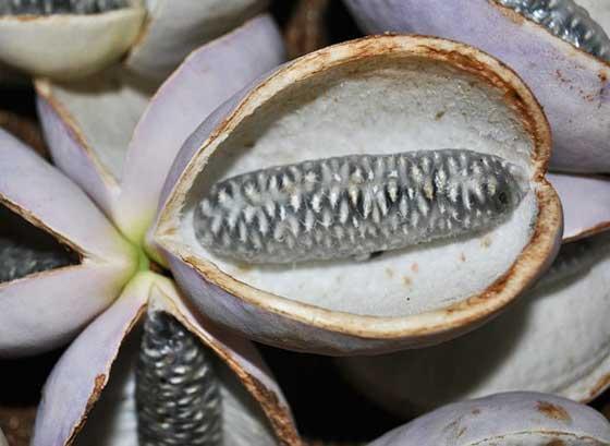 アケビはつる性植物