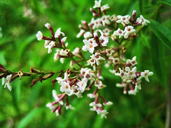 レモンバーベナは低木です