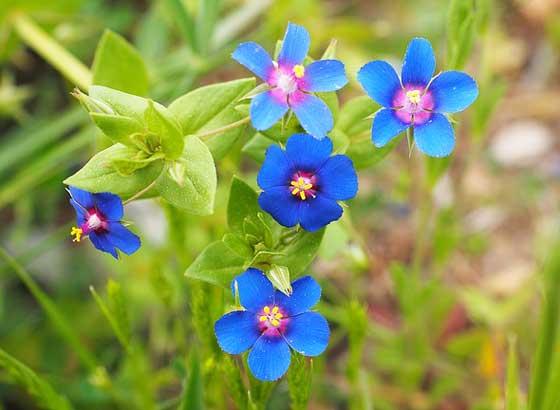 アナガリスは青色の花です