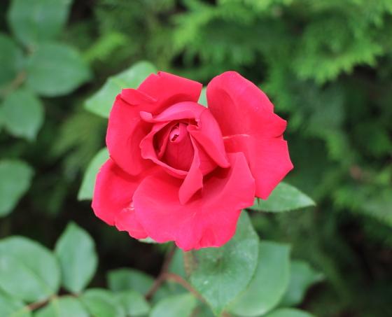 篤姫は赤色のバラ
