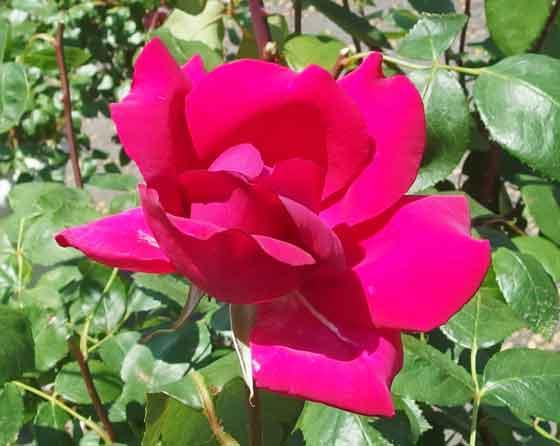 バルバラはHT系統のバラ