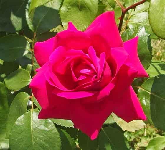 バルバラは四季咲き性がある