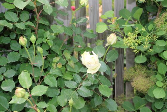 純白バラの大輪サイズ