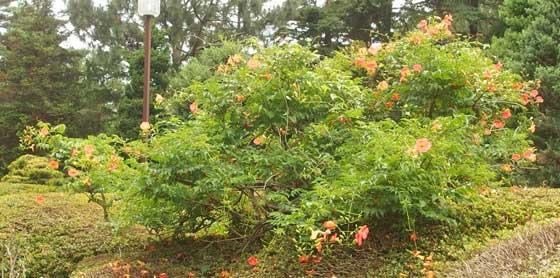 ノウゼンカズラはオレンジ色です