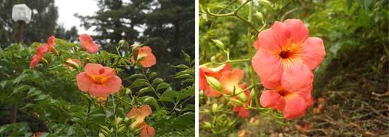 ノウゼンカズラはつる植物です
