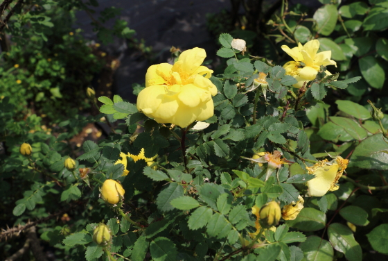 カナリーバードは一季咲きです