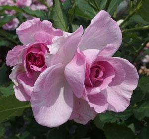 コティヨンはフロリバンダ系統のバラ