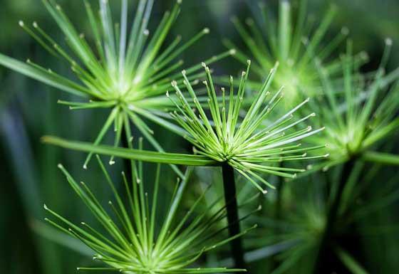 シペラスは湿生植物