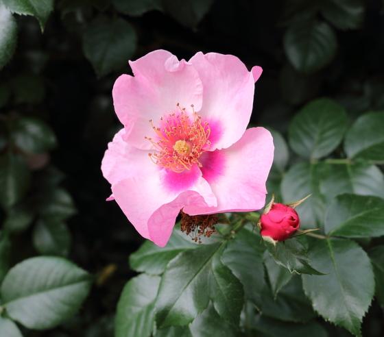 桃色の一重咲きシュラブ系統