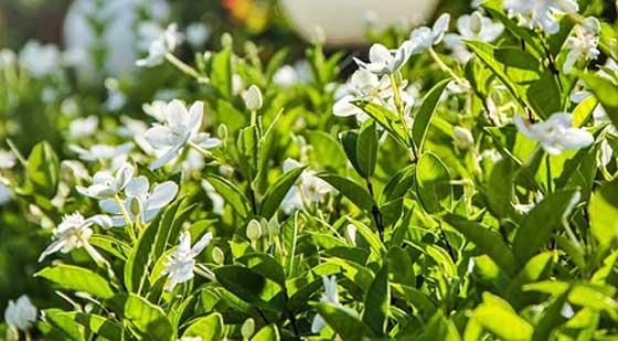 クチナシは白色の花