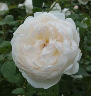 グラミスキャッスルは白色バラです