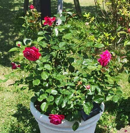 グラマラスラッフルは赤色バラ