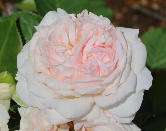 いわての春はピンク色のバラ