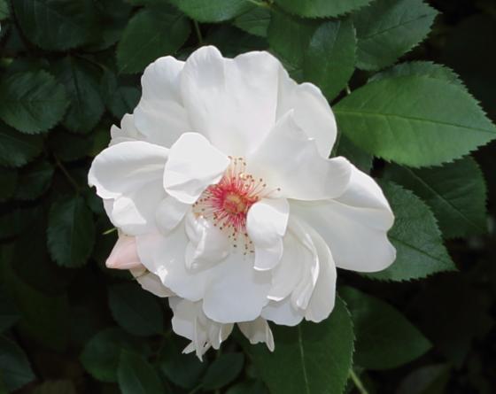 白色の中大輪サイズでカップ咲きになる