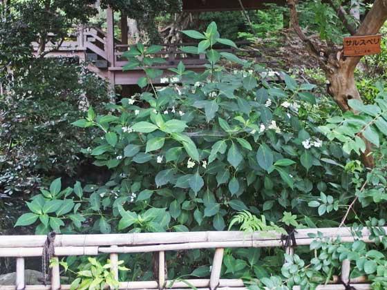 深大寺の境内の花木