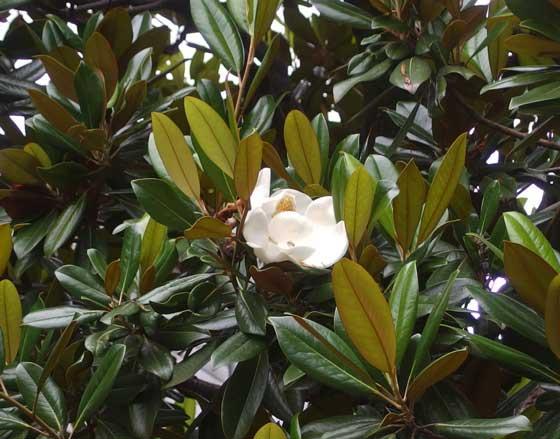 深大寺の境内に咲く大山木です