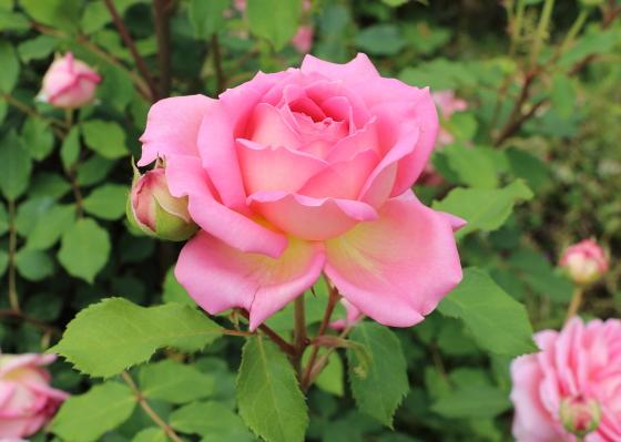 ジュビリーセレブレーションは四季咲き性