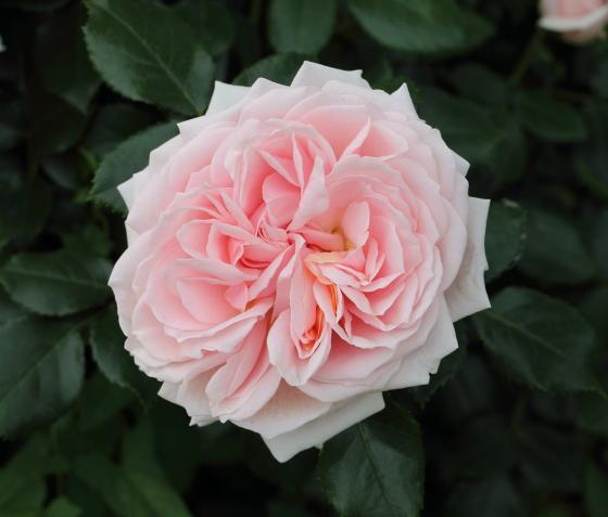 薫乃は淡いピンク色のバラ
