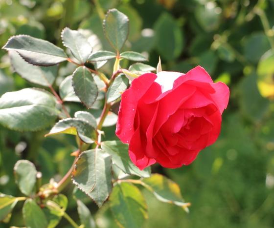 カーディナルは半剣弁高芯咲きです