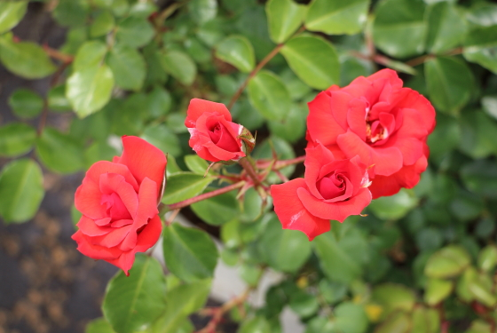 半八重平咲きのフロリバンダ系統の赤色バラ