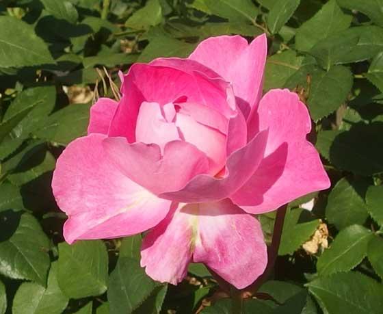 メアリーローズはシュラブ系のバラ