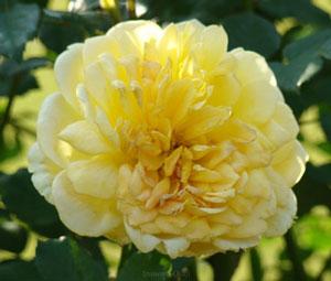 モリニューは四季咲き性