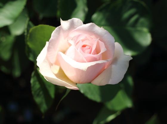 モニークダーヴはロゼット咲き